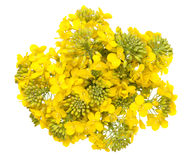 Rapeseed Flower Isolated on White Background. Brassica napus blossom. Top view Stock Image