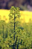 Rapeseed, closeup on a rapeseed flower royalty free stock images