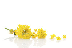 Rapeseed flower on white. Rapeseed flower on white background Royalty Free Stock Photography