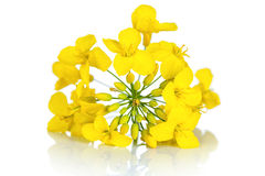 Rapeseed Flower. On white background. Brassica napus blossom stock images