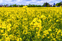 Rapeseed Stock Images