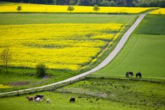 Rapeseed flowering in Germany in the village stock images