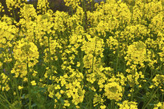Rapeseed flowering plants in a field. Royalty Free Stock Photography