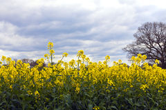 Rapeseed flowering plants in a field. Royalty Free Stock Photo