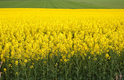 Rapeseed Flowers Royalty Free Stock Image