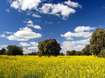 Rapeseed flowers. Landscape with rapeseed and holm oak in Extremadura (Spain stock photos