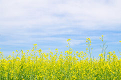 Rapeseed flowers agaist blue sy Royalty Free Stock Photos