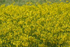 Rapeseed flowers background royalty free stock image