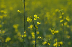 Rapeseed flowers close Royalty Free Stock Photo