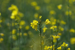 Rapeseed flowers close Stock Image