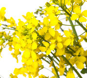 Rapeseed flowers Royalty Free Stock Photography
