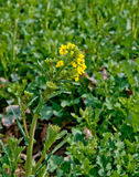 Rapeseed flowers Stock Photography