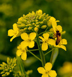 Rapeseed flowers Royalty Free Stock Images