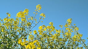 Rapeseed Flowers in Cultivated Agricultural Field stock footage