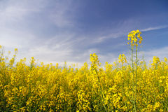Rapeseed flowers Stock Image