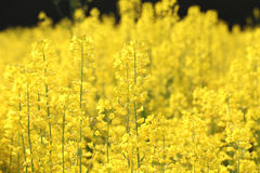 Rapeseed flowers in field Royalty Free Stock Photography