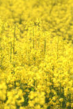 Rapeseed flowers in field Stock Photos