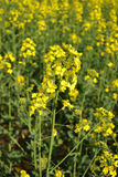Rapeseed flowers Stock Photos