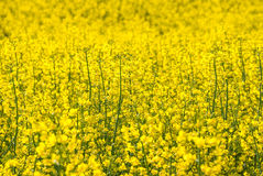 Rapeseed flowers field Royalty Free Stock Images