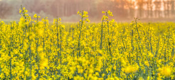 Rapeseed Flowers II Royalty Free Stock Photos