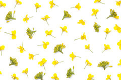 Rapeseed Flowers Isolated on White Background Royalty Free Stock Images