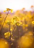 Rapeseed flowers Stock Image