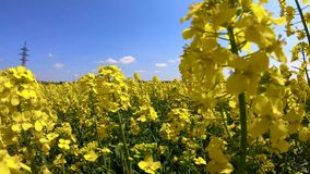 Rapeseed flowers sway in the wind under a clear sky.  stock footage
