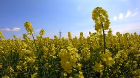 Rapeseed flowers sway in the wind under a clear sky stock video footage