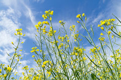 Rapeseed flowers Stock Images