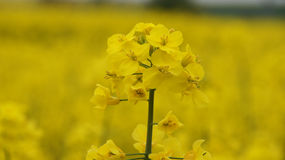 Rapeseed flwer in field in France. Rapeseed or coleseed closeup in bloom in spring in France royalty free stock image
