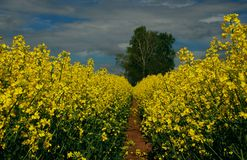 Rapeseed forest Stock Image