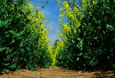 Rapeseed forest Stock Images