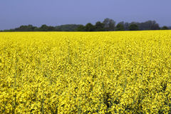 Rapeseed in germany 01. Rape area under cultivation Royalty Free Stock Photography