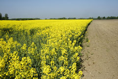 Rapeseed in germany 03. Area under cultivation Stock Images
