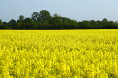 Rapeseed in germany 05. Area under cultivation Stock Photo