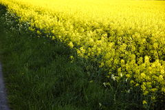 Rapeseed in germany 06. Area under cultivation Royalty Free Stock Photography
