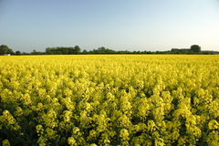 Rapeseed in germany 07. Area under cultivation Stock Photos