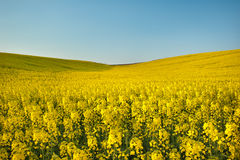 Rapeseed In Bloom Stock Image
