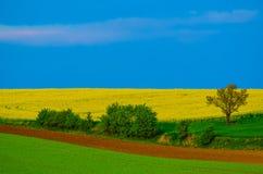 Rapeseed koloru żółtego pola w wiośnie Obraz Stock