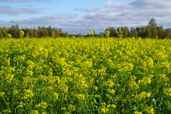 Rapeseed koloru żółtego pole w Polska niebieskim niebie fotografia stock
