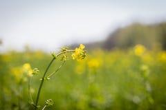 Rapeseed kwiat na w górę tła pole obrazy royalty free