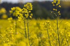 Rapeseed kwiat w Estonia Obraz Royalty Free