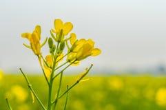 Rapeseed kwiatu zakończenie up na zamazanym tle i swój wspaniałych płatkach chwytających od Pogodnego pola gwałta kwiatu ogród Zdjęcia Stock