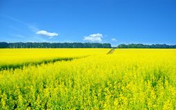 Rapeseed landscape Stock Photography