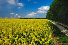 Rapeseed Landscape Stock Photo