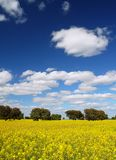 Rapeseed Landscape. Landscape rapeseed crop in spring stock photos