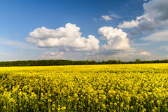 RAPESEED - Landscape of a rapeseed field. Royalty Free Stock Images