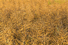 Rapeseed Maturity Royalty Free Stock Images
