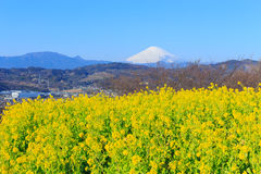Rapeseed and Mt.Fuji Royalty Free Stock Image