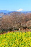 Rapeseed and Mt.Fuji Stock Images